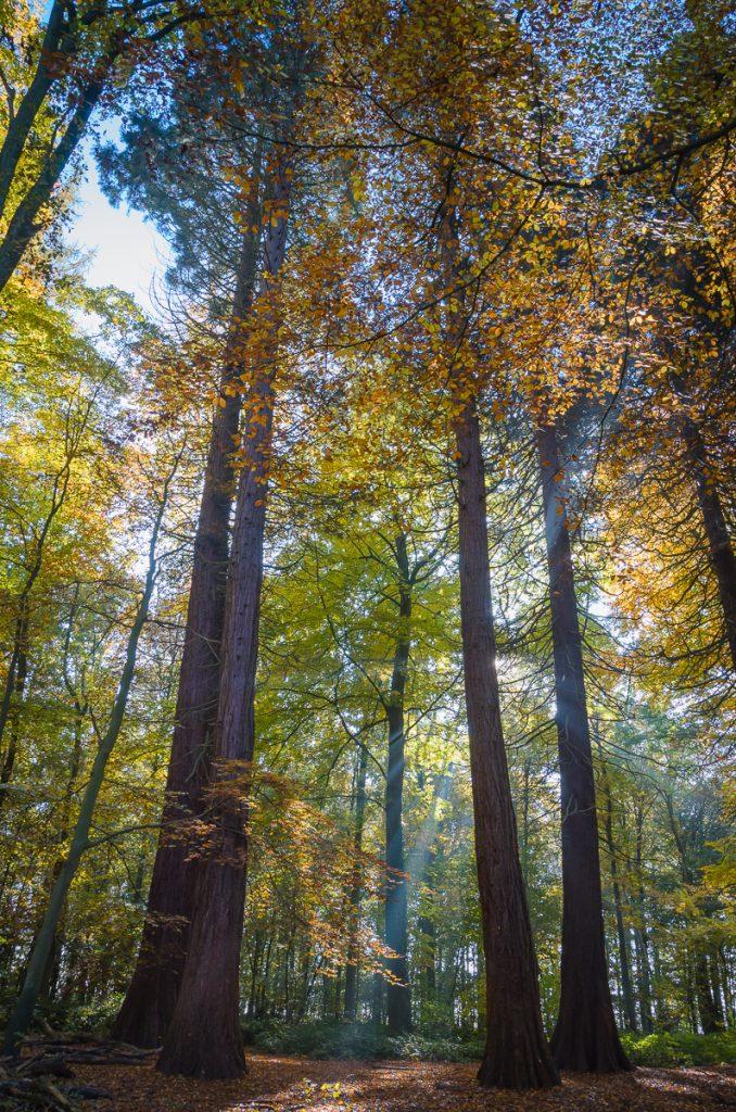 Hallerbos - Sequoia